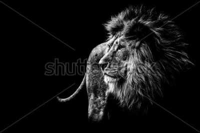 Cuadro lion in black and white
