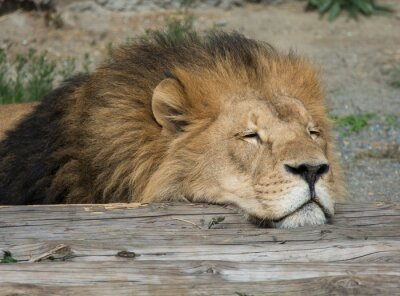 Cuadro Lion Sleep