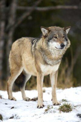 Cuadro Lobo de pie en el bosque frío invierno