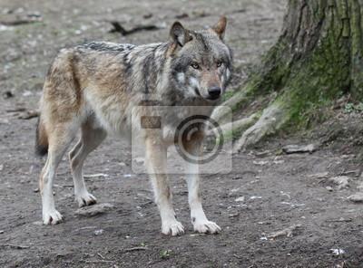 Lobo im Tierpark Sababurg