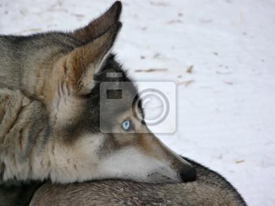 Los ojos azules de perros husky