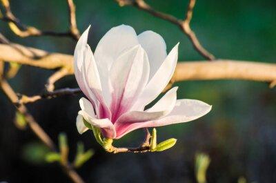 Cuadro magnolia flor en la luz del sol