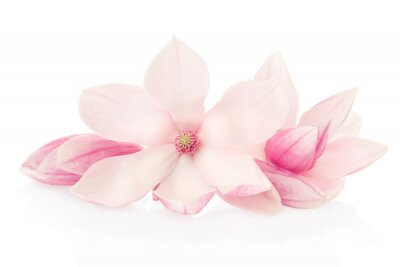 Cuadro Magnolia, flores rosas y capullos grupo en blanco, camino de recortes