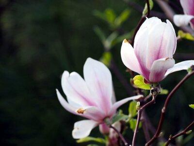 Cuadro Magnolia x soulangeana 'Alejandría'