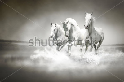 Cuadro Manada de caballos blancos corriendo por el agua.