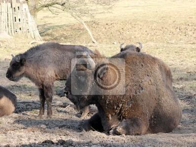 Manada del bisonte en el parque zoológico Sababurg
