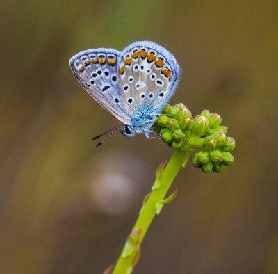 Cuadro Mariposa azul en la flor