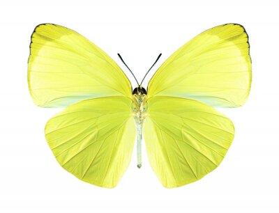 Cuadro Mariposa gandaca harina (macho) (parte inferior)