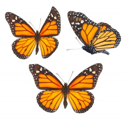 Cuadro Mariposa monarca