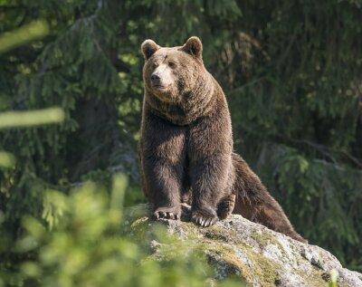 Cuadro marrón oso macho