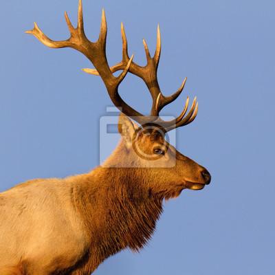 Masculino Tule Elk Primer plano
