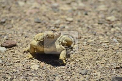 Mastigure egipcia (Uromastyx aegytius) cerca de Eilat, Israel