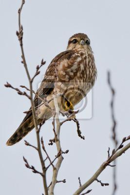 Merlín (Falco columbarius)