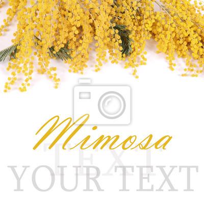 Cuadro Mimosa amarilla aislada en el fondo blanco