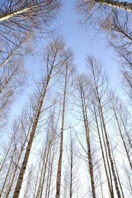 Cuadro Mirando hacia arriba los troncos blancos de un grupo de abedules desnudos