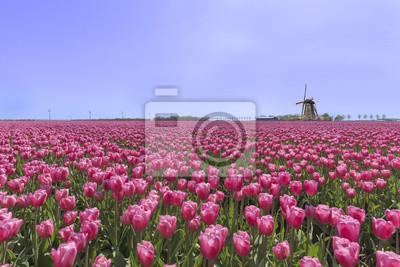 Molino de viento holandés en una plantación de la granja del bulbo de los tulipanes rojos púrpuras debajo de un cielo azul soleado en tiempo de primavera