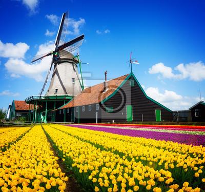 molino de viento holandés sobre campo de tulipanes