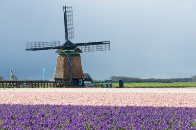 Molino de viento tradicional con flores de jacinto en los Países Bajos
