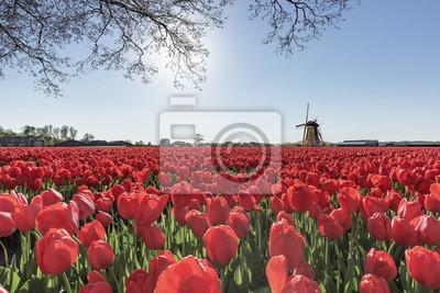 Molino de viento y un sinfín de tulipanes rojos bulbos de granja en primavera en Lisse, cerca del famoso jardín de tulipanes keukenhof, Países Bajos