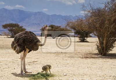 Mujer de Avestruz africana con los polluelos