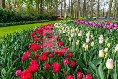 Multi color hyacinth, pure red, pink white color tulips blossom blooming under a very well maintained garden in spring time