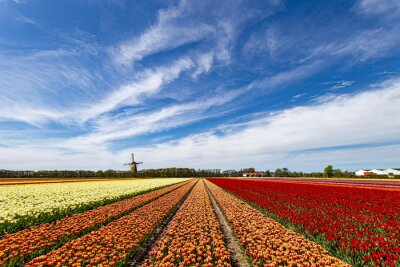 Multicolor red and yellow tulips flowers blooming in curve shape against Dutch windmills during spring the sunrise