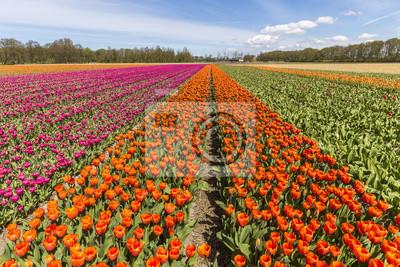 multicolor tulip bulb farm at lisse, keukenhof, netherlands