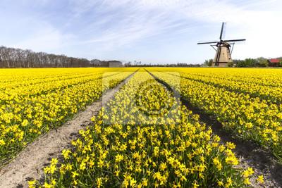 Narciso bulbo granja en Lisse y Hilligome ciudad holandesa