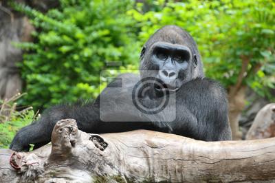 Negro del gorila que se reclina sobre un poste de madera