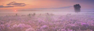 Niebla sobre la floración de brezo en los Países Bajos en la madrugada