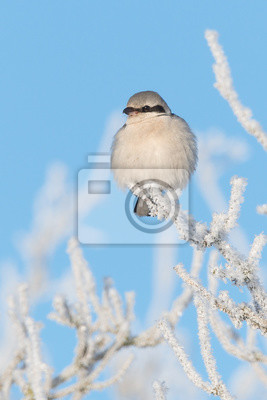 Nördlicher Raubwürger (Lanius excubitor) en invierno