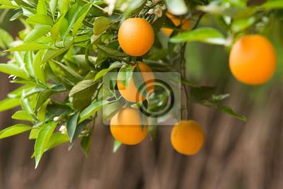 Cuadro orangers