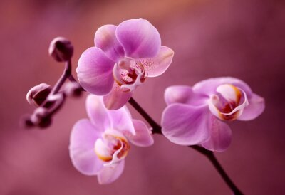 Cuadro Orchidea - Storczyki fiolet