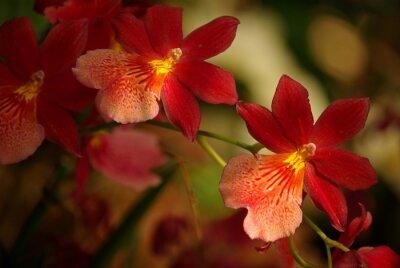 Cuadro Orchidées à fleurs et rouge jaune