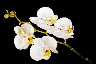 Cuadro Orquídea blanca con centro amarillo