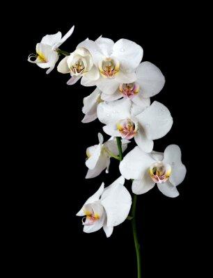 Cuadro Orquídea blanca sobre un fondo negro