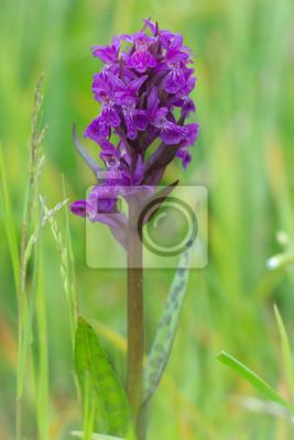 Orquídea de pantano - Dactylorhiza majalis - orquídea silvestre