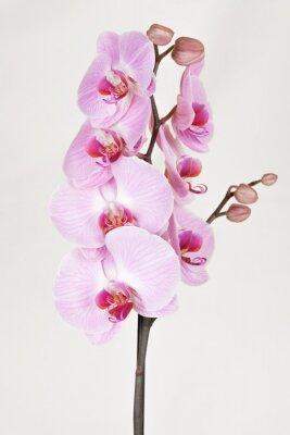 Cuadro Orquídea rayada de color rosa