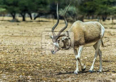 Oryx de Arabia (Oryx leucoryx) en la reserva natural de Israel