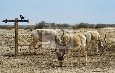 Oryx de Arabia (Oryx leucoryx) en la reserva natural, Israel