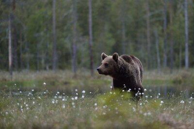 Cuadro Oso de Brown (arctos del Ursus) en páramo con el fondo del bosque. Oso de Brown en pantano con el fondo del bosque. Taiga Finlandia.