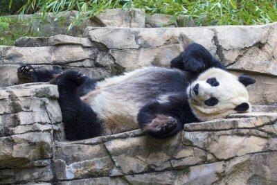 Cuadro Oso de panda gigante durmiendo la siesta en el Zoológico Nacional en Washington, DC.