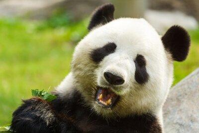 Cuadro Oso panda comiendo bambú