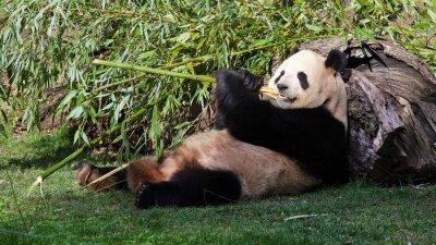 Cuadro Oso panda comiendo bambú Tumbado