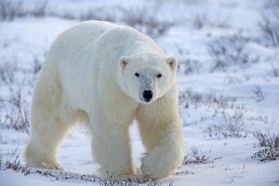 Cuadro oso polar