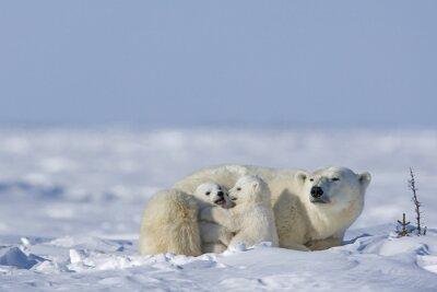 Cuadro oso polar con los cachorros