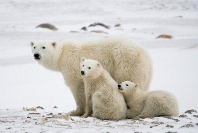 Cuadro Oso polar con un cachorro en la tundra. Canadá. Una excelente ilustración.