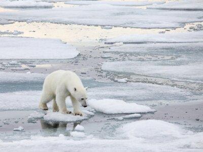 Cuadro Oso polar en el medio natural