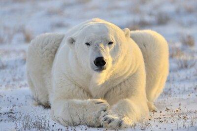 Cuadro Oso polar que miente en la tundra.