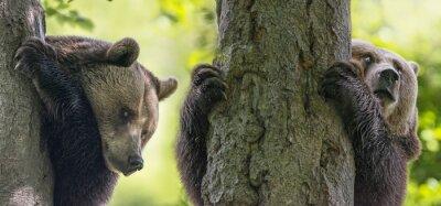 Cuadro Osos marrones en los árboles
